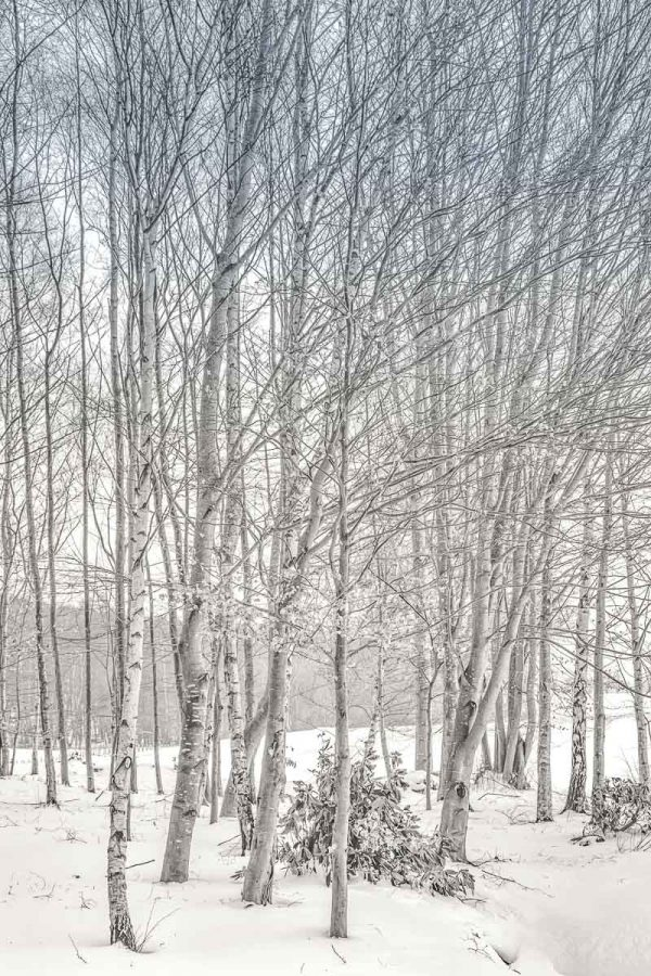 Bolam Trees Mono-5304 Xmas Card Ponteland Print & Publishing