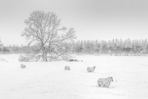 Sheep in the Snow at Stamfordham-5072 Ponteland Xmas Card