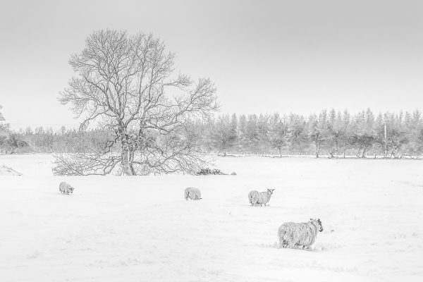 Sheep in the Snow at Stamfordham-5072 Ponteland Xmas Card